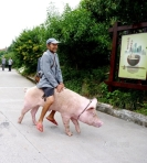 commuting on a pig